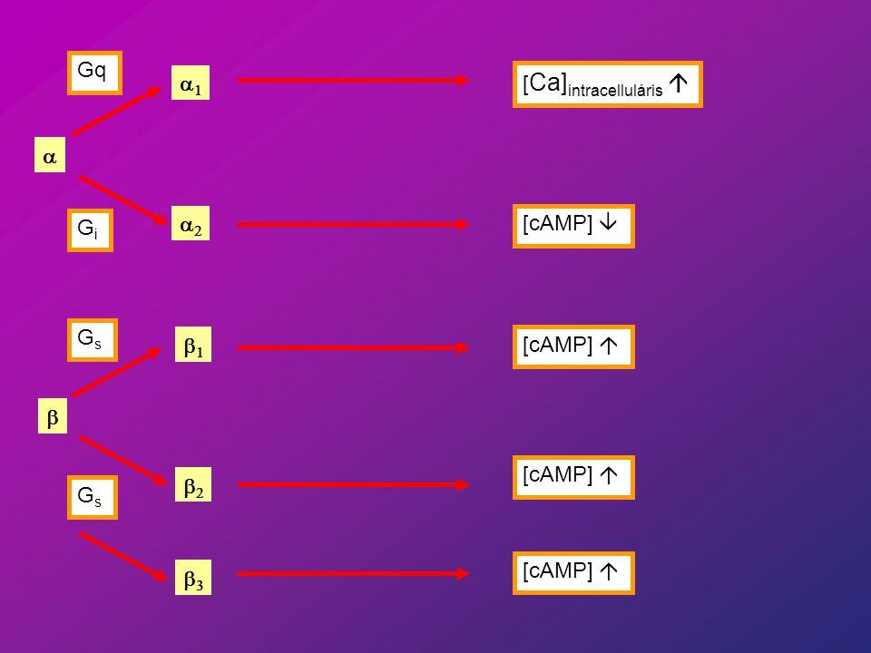 Gq a1 [Ca]intracelluláris á a Gi a2 [cAMP] â Gs b1 [cAMP] á b [cAMP] á b2 Gs [cAMP] á b3
